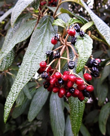 Kalina_Viburnum rhytidophyllum DSCN2657-001 (2)