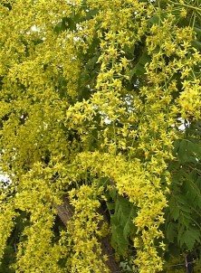 Koelreuteria paniculata DSCN2430 (3)