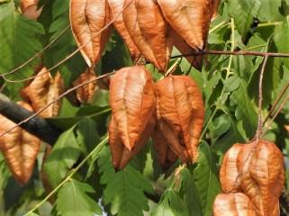 Koelreuteria paniculata DSCN2435 (2)