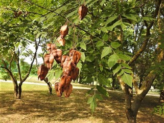 Koelreuteria paniculata DSCN2519 (2)