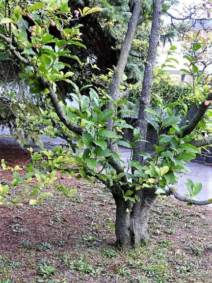 Magnolia × soulangeana DSCN3501 (2)