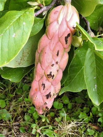 Magnolia × soulangeana DSCN4807 (2)