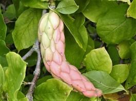 Magnolia × soulangeana DSCN4808 (2)