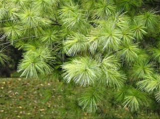 Pinus wallichiana DSCN4803 (2)