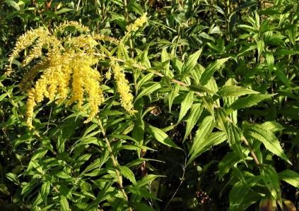 Solidago canadensis DSCN3665-001 (2)