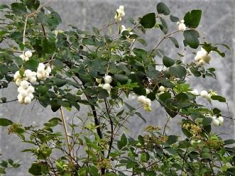 Symphoricarpos albus DSCN3122 (2)