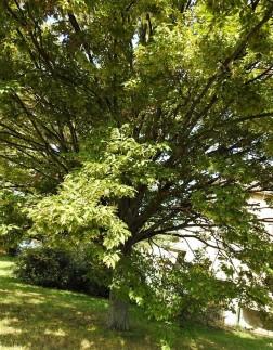 Grab_ob_Carpinus betulus DSCN3936 (2)