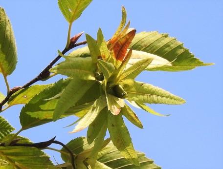 Grab_ob_Carpinus betulus DSCN3937-002 (2)