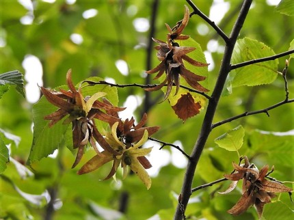 Grab_ob_Carpinus betulus DSCN4814 (2)