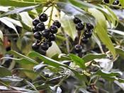 Laurocerasus officinalis DSCN2391 (2)