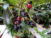 Laurocerasus officinalis DSCN2643-001