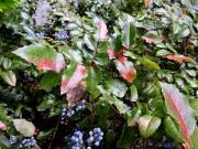 Mahonia aquifolium DSCN3184-001