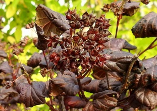Physocarpus opulifolius DSCN4011-007