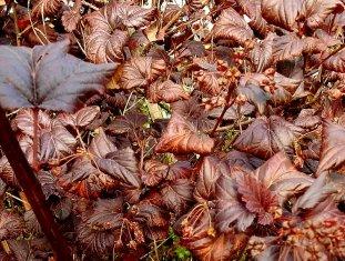 Physocarpus opulifolius DSCN4012-009