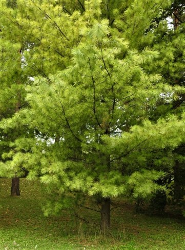 Pinus wallichiana DSCN4802 (2)