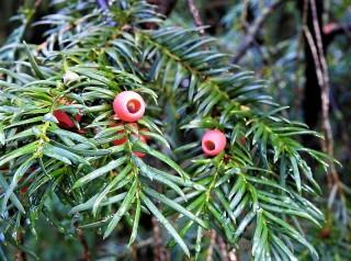 Taxus baccata DSCN3234 (2)