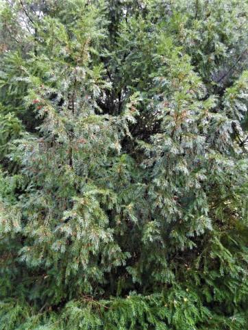 Taxus baccata DSCN3236 (3)