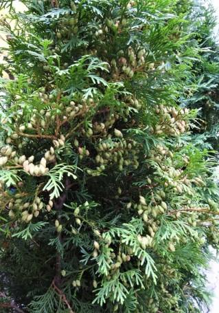 Thuja occidentalis DSCN3189-001 (2)
