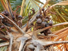 Palm_Dum_Hyphaene thebaica DSCN7207 (2)