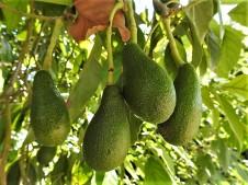 Avocado_Perseaamericana DSCN0983 (2)