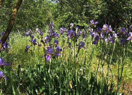 Iris mesopotamica_IMG_7741 (2)