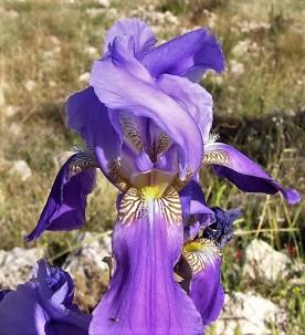 Iris mesopotamica_IMG_7742 (2)