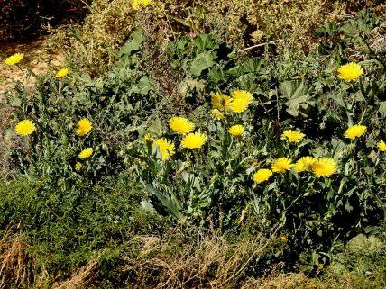 Launaea angustifolia DSCN5188-001