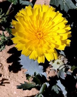 Launaea angustifolia IMG_4720-002