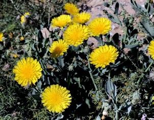 Launaea angustifolia IMG_4726-004
