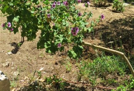 Lavatera arborea IMG_6867 (3)