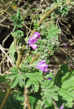 Lavatera trimestris IMG_6951 (3-5)