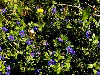 Anagallis arvensis IMG_4833-001