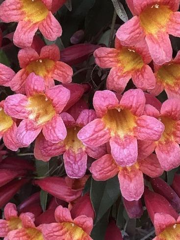 Bignonia capreolata IMG_4861-001