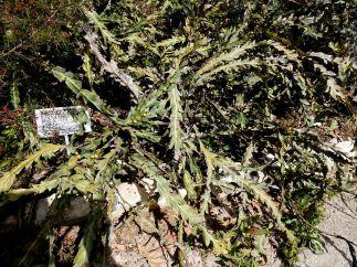 Acaciaglaucoptera DSCN6512-001