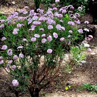 Argyranthemum frutescens IMG_7570 (2)