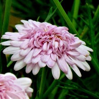 Argyranthemum frutescens IMG_7572 (2)