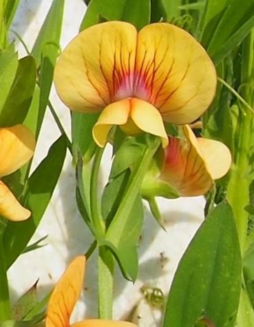 Lathyrus annuus_China_035355 (2)