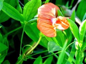 Lathyrus blepharicarpus_China_IMG_3879 (2)-001