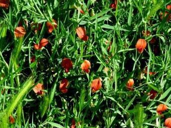 Lathyrus hirticarpus IMG_8984-001