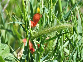 Lathyrus hirticarpus IMG_8986 (2)