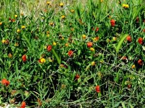 Lathyrus hirticarpus IMG_8988-001