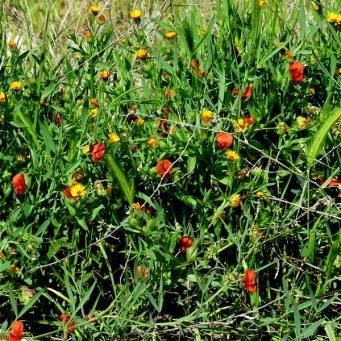 Lathyrus marmoratus IMG_8988