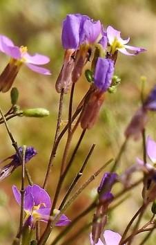 Maresia Malcolmia pulchella DSCN5863-001 (3)