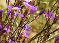 Maresia Malcolmia pulchella DSCN5866 (2)-a