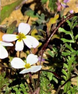 Maresia pygmaea_IMG_2355 (2)-001
