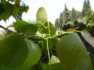 Populus nigra P1020827