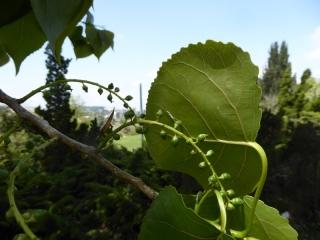 Populus nigra P1020830
