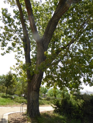 Populus nigra P1020831