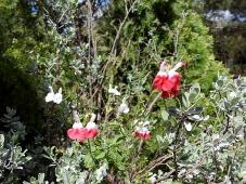 Salvia microphylla DSCN6240-001