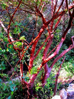 Arbutus andrachne MG_6624-001